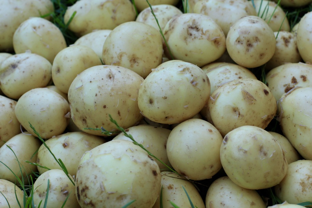 Viele Kartoffeln bei der Kartoffelernte